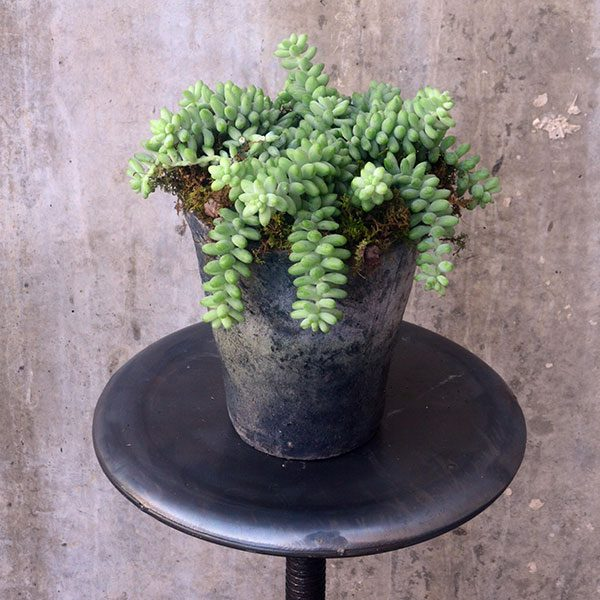 Donkey Tail succulent with moss in a small cement planter