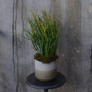 Pencil cactus with moss in two-tone cement vase