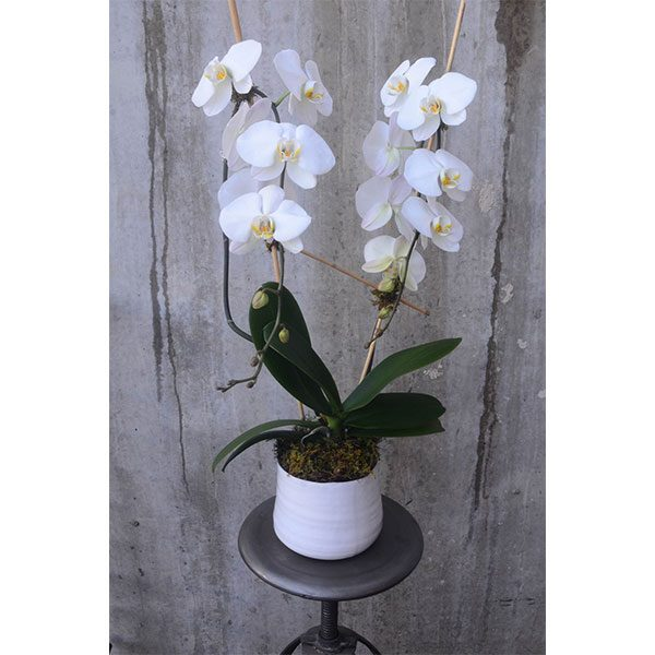 Double-staked white Phalaenopsis in a white ceramic pot